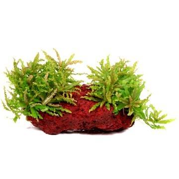 Daonoi - Pogostemon helferi - Tropica Pflanze auf Lavastein