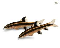 10x Rüsselbarbe - Crossocheilus siamensis - 3cm