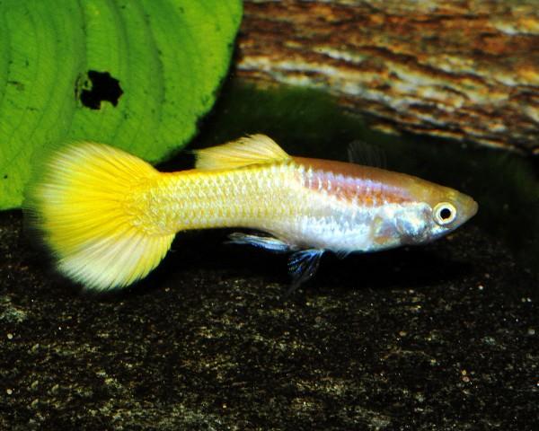 """Guppy männlich """"gold laser"""" - Poecilia reticulata"""