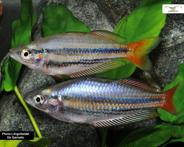 Westlicher Regenbogenfisch - Melanotaenia splendida australis - DNZ