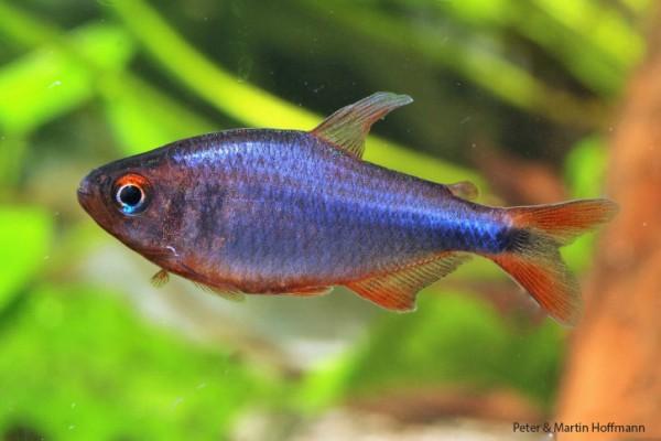Brombeersalmler - Hyphessobrycon wadai