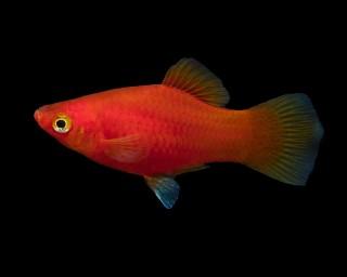 Roter Platy - Xiphophorus maculatus