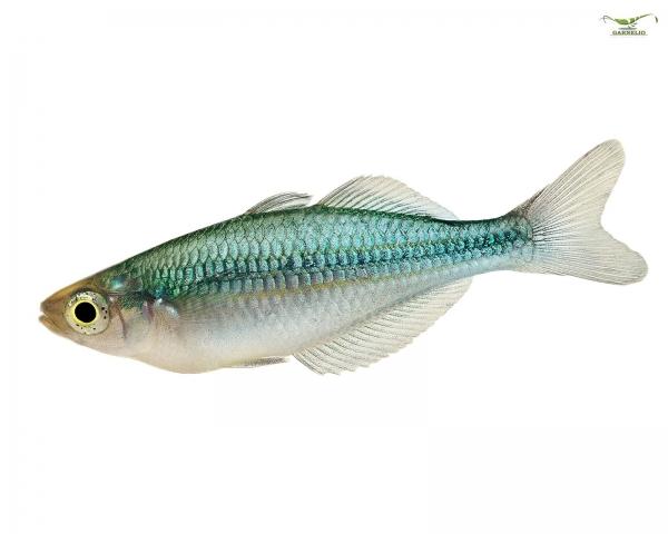 Blauer Regenbogenfisch - Melanotaenia lacustris - DNZ