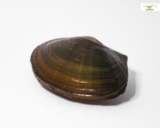 Teichmuschel - Unio pictorum