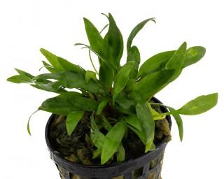 Gewellter Wasserkelch - Cryptocoryne undulata - NatureHolic Plants - Topf