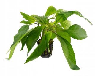 """Thailändischer Wasserfreund - Hygrophila corymbosa """"Siamensis"""" - NatureHolic Plants - Topf"""