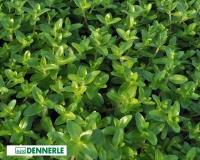 Großes Fettblatt - Bacopa caroliniana emers - Dennerle Topf