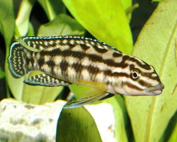 2x Schlankcichlide Dickfeldi - Julidochromis dickfeldi - 5cm