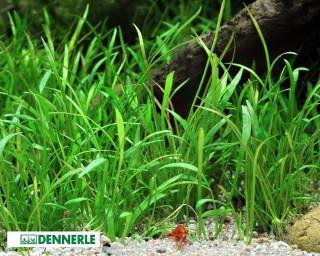 Brasilianische Graspflanze, Lilaeopsis brasiliensis - Topf