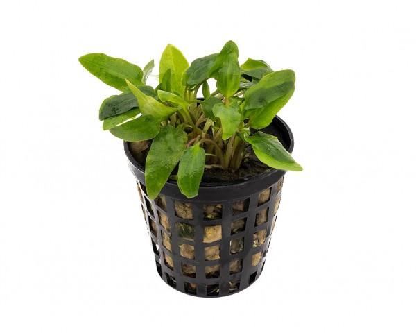 Wendts Wasserkelch, grün - Cryptococoryne w. Green - NatureHolic Plants - Topf
