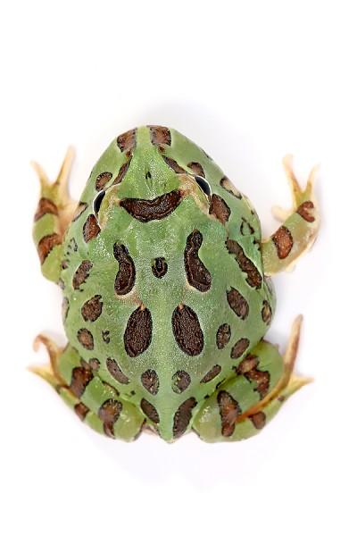 Pacman Frog Grün - Ceratophrys cranwelli