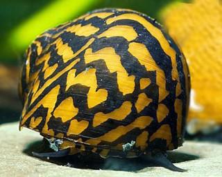 Big Stripe Mosaik Rennschnecke - Neritina sp.
