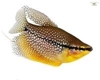2x Mosaikfadenfisch - Trichogaster leeri - Pärchen