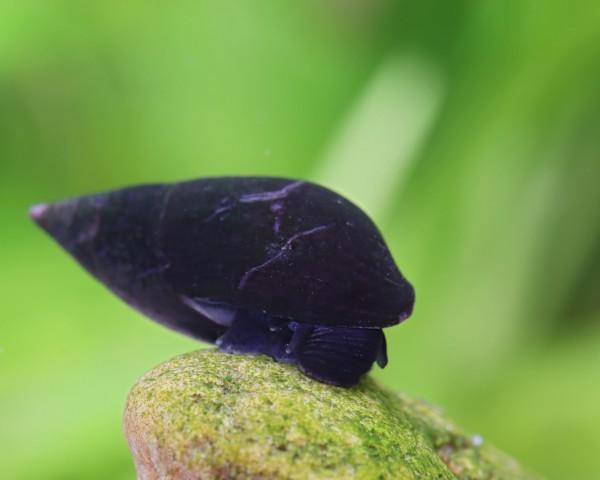 Purple Haze - Turmdeckelschnecke - Melanopsis buccinoidea