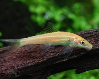 Saugschmerle gold - Gyrinocheilus aymonieri