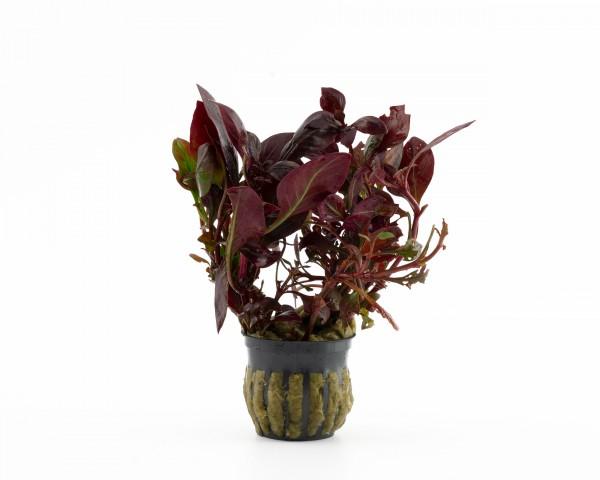 Papageienblatt rundblättrig - Alternanthera bettzickiana - NatureHolic Plants - Topf