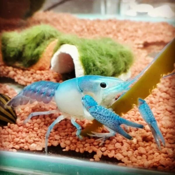 "Blauer ""Ghosthead"" Floridakrebs - Procambarus alleni"