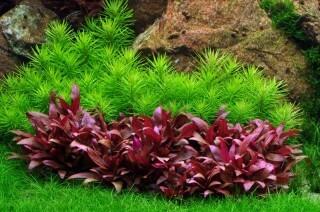 1-2-GROW! Indische Sternpflanze / Pogostemon deccanensis