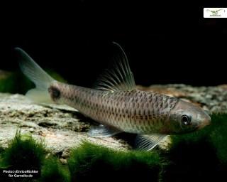 Netz Pinselalgenfresser - Crossocheilus reticulatus - DNZ