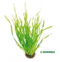 Kleine Schrauben - Sumpfschraube , Vallisneria tortifolia