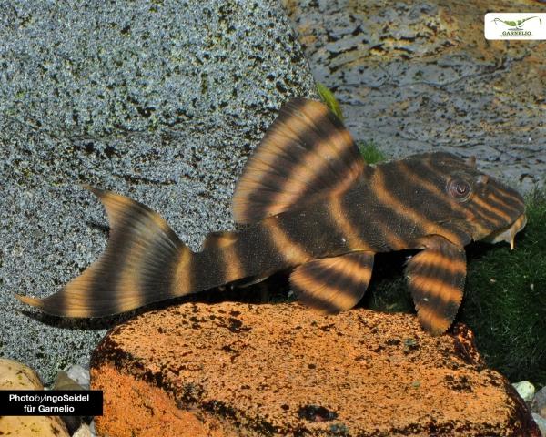 L403 - Panoqolus sp. - DNZ 4-5 cm