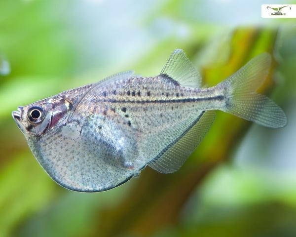 Schwarzschwingen Beilbauchfisch - Carnegiella marthae