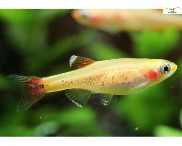 """Kardinalfisch gold - Tanichthys albonubes """"gold"""""""