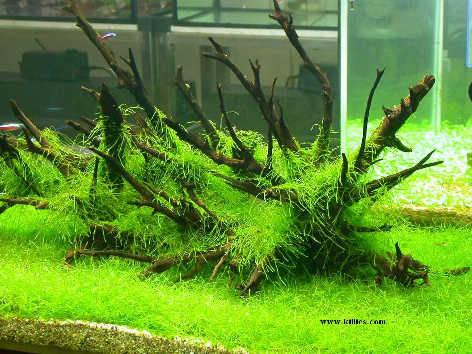 Moose Im Aquarium Und Terrarium Garnelen Onlineshop