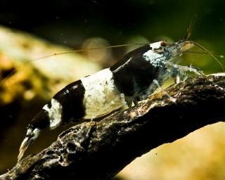 Hummelgarnele - Caridinia sp.