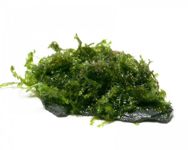 """Nano Scape Rock - Vesicularia ferriei """"Weeping"""""""