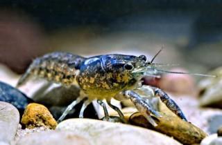 Kubakrebs, Procambarus cubensis cubensis