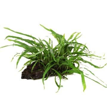 Schmalblättriger Javafarn - Microsorum pteropus 'Narrow' - Tropica Pflanze auf Wurzeln