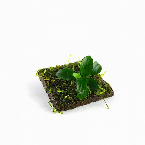 TonPad 5x5 cm Anubia mit Weepingmoos Vesicularia ferriei