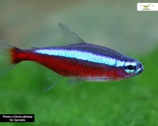 Roter Neon - Paracheirodon axelrodi - DNZ
