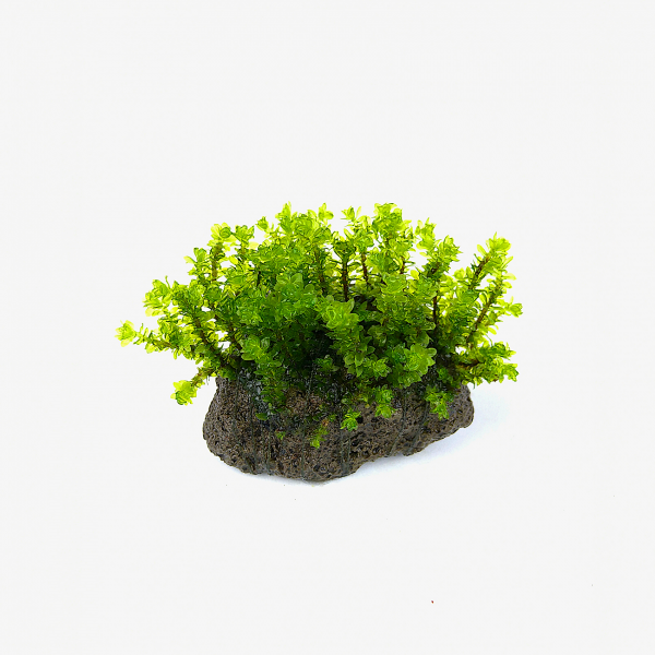 Vulkangestein 3-7 cm - Distichophyllum sp., Rare-Moos