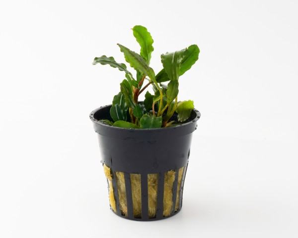 "Bucephalandra spec. ""Sword Leaf"" - Rarität Nano Aufsitzerpflanze im Topf"