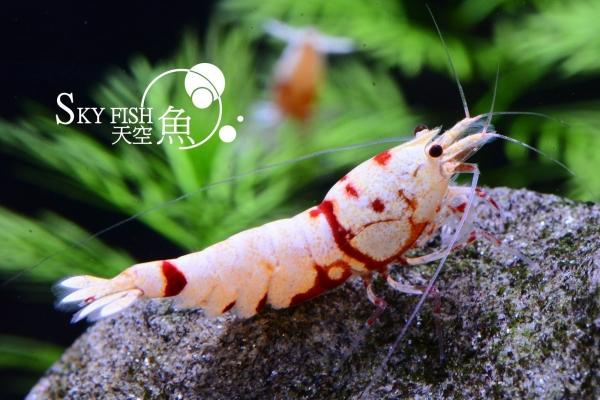 Red Mosura Tiger - diverse Zuchtgruppen