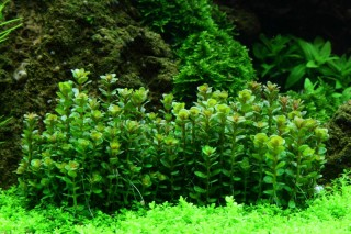 1-2-GROW! Bonsai Rotala / Rotala 'Bonsai'