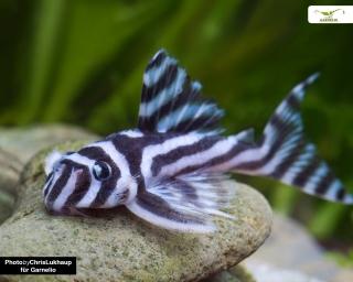 L46 Zebra Harnischwels - Hypancistrus zebra