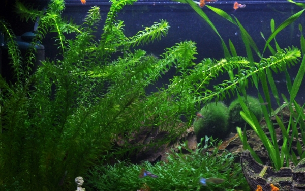Dichtblättrige Wasserpest - Egeria densa - Tropica Keramikring