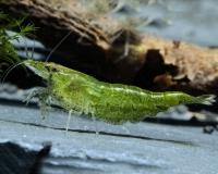 Tragende Green Jade Garnele - Neocaridina davidi