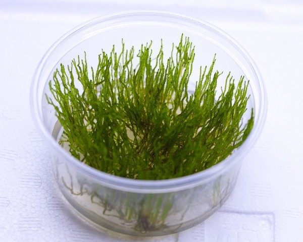 Flammenmoos - Taxiphyllum sp - XXL InVitro Becher