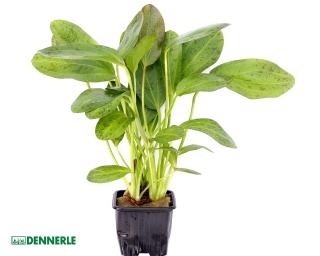 Grüner Ozelot - Echinodorus 'Ozelot' - Dennerle XL Topf