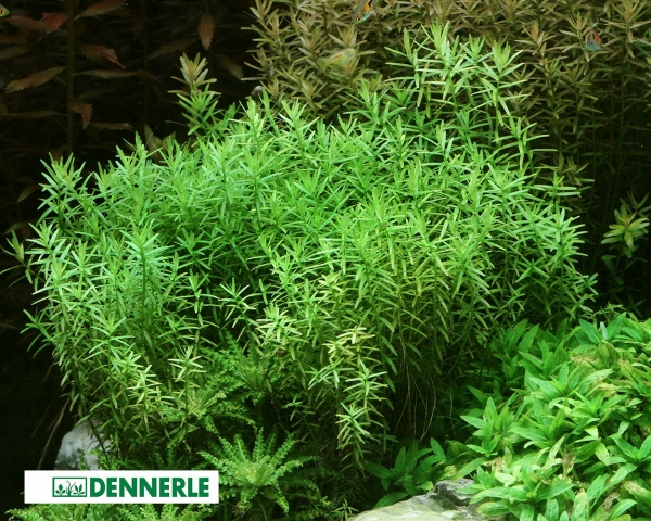 Grüne Rotala - Rotala spec. Grün - Dennerle Topf