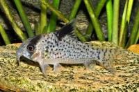 Schwarzflossen Panzerwels - Corydoras leucomelas
