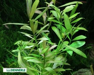 Indischer Wasserfreund , Hygrophila polysperma – Dennerle Topf