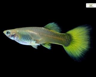Guppy Weibchen Lemon - Poecilia reticulata