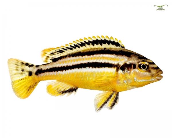 2x Türkis-Goldbarsch - Melanochromis auratus - Pärchen