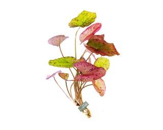 Roter Tigerlotus XXL - Pflanze - Nymphaea lotus rubra - 10-15 cm