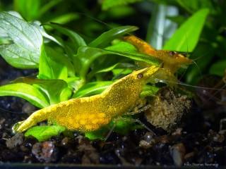 Tragende Yellow Fire Neon Garnele - Gelbe Garnele mit Neon Rückenstrich